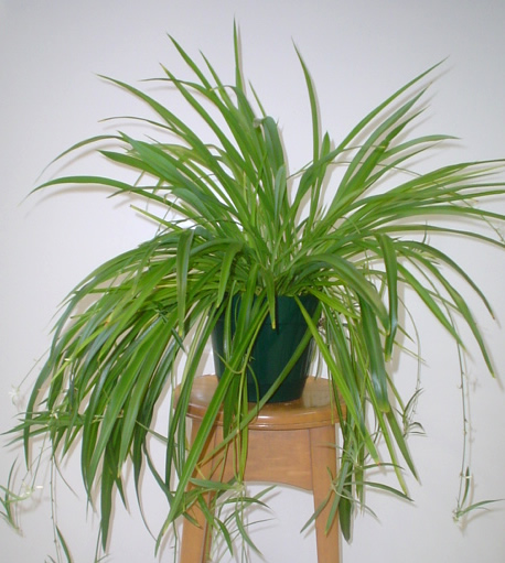 anything healthy reproduces ask my spider plant dr ken baker. Black Bedroom Furniture Sets. Home Design Ideas