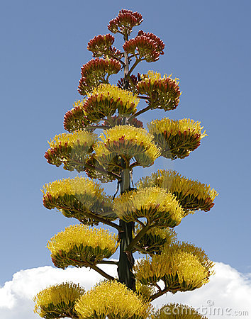 agave-plant-flowers-clouds-9608863