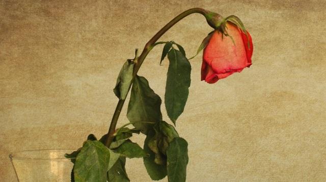 rose wilt.jpg